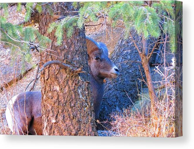 Grand Canyon National Park Canvas Print featuring the photograph Big Eye Ram by Connor Ehlers