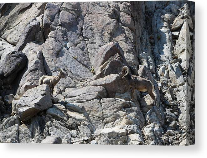 Bighorn Sheep Ram Canvas Print featuring the photograph Bighorns Romantic Stare by Colleen Cornelius