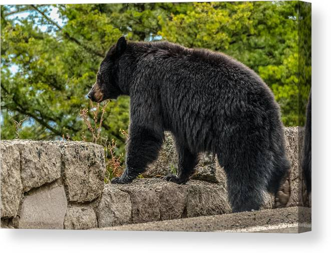Black Bear Canvas Print featuring the photograph Black Bear Boar Taking In The Sights by Yeates Photography