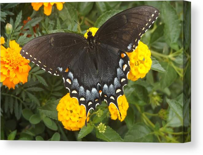 Black Butterfly Canvas Print featuring the photograph Black Butterfly by FD Brake