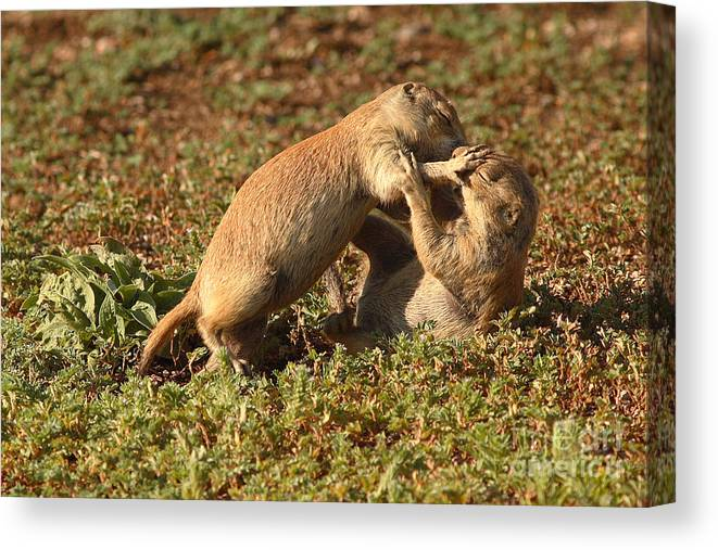 Prairie Dog Canvas Print featuring the photograph Black-tailed Prairie Dogs Wrestling Around by Max Allen