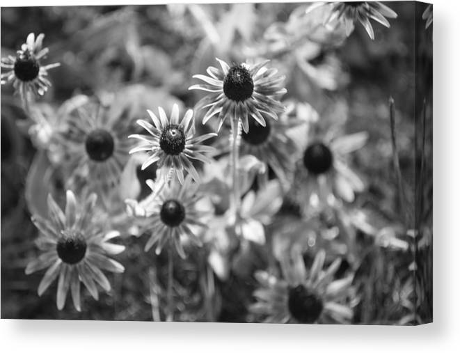 Flowers Canvas Print featuring the photograph Blackeyed Susans In Black And White by Paula Coley