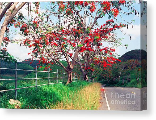 Along The Road Canvas Print featuring the photograph Blooming Flamboyan Trees Along A Country Road by George Oze