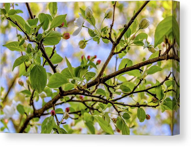 Blossom Canvas Print featuring the photograph Blossoms And Leaves by Nick Smith