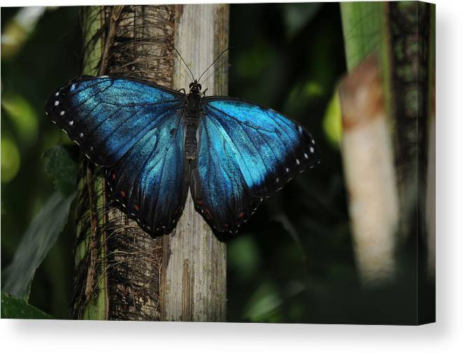Blue Butterfly Image Print Photograph For Sale Limited Edition Canvas Print featuring the photograph Blue Butterfly by Patrick Short