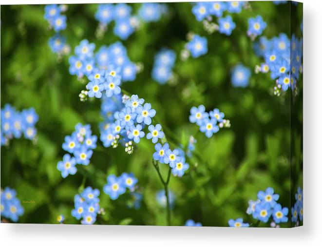 Blue Wildflowers Canvas Print featuring the photograph Blue Wildflowers Forget Me Nots by Christina Rollo