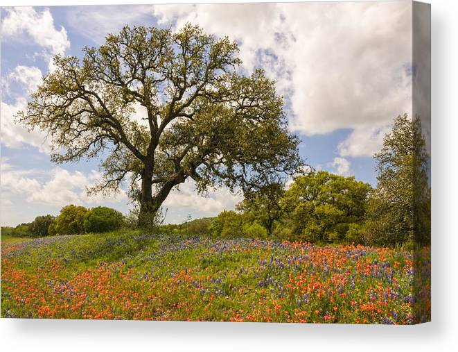 Bluebonnet Canvas Print featuring the photograph Bluebonnets Paintbrush And An Old Oak Tree - Texas Hill Country by Brian Harig