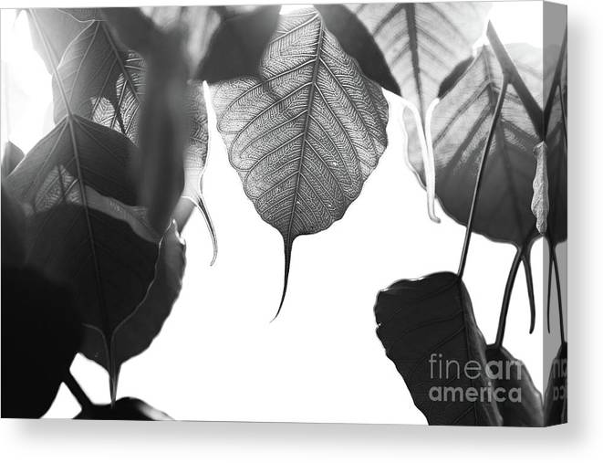Art Canvas Print featuring the photograph Bodhi Leaves by Atiketta Sangasaeng