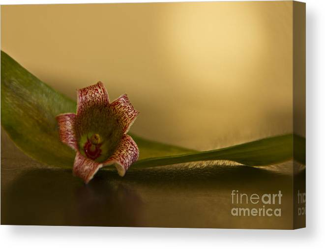 Brachychiton Canvas Print featuring the photograph Bottle Tree Flower by Kelly Holm