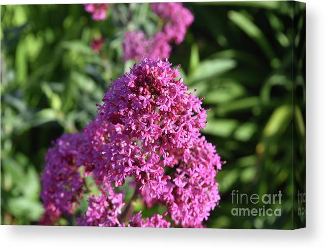 Phlox Canvas Print featuring the photograph Brilliant Pink Blooming Phlox Flowers In A Garden by DejaVu Designs