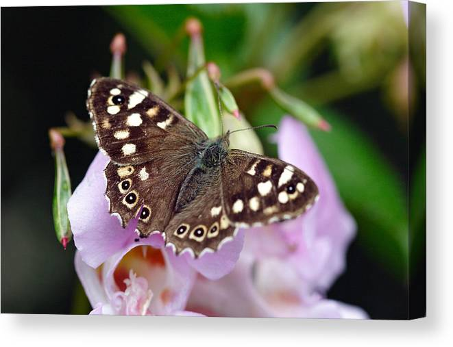 Butterfly Canvas Print featuring the photograph Brown Butterfly by Pierre Leclerc Photography