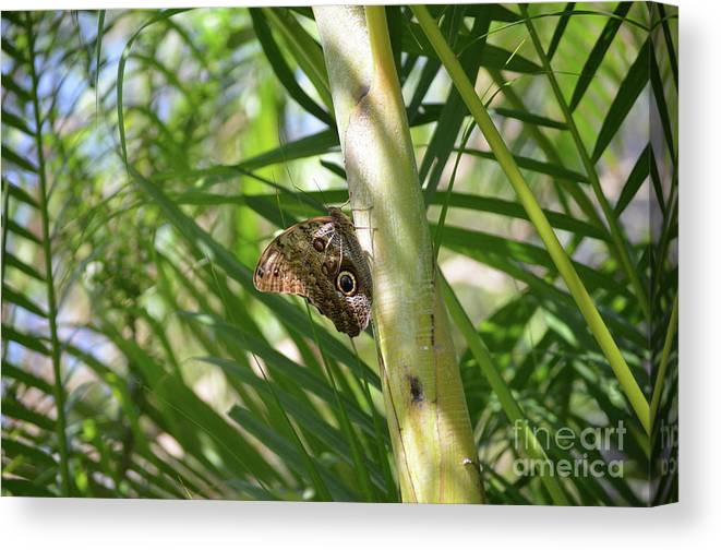 Blue Morpho Canvas Print featuring the photograph Brown Morpho Butterfly Resting On A Sunny Tree by DejaVu Designs
