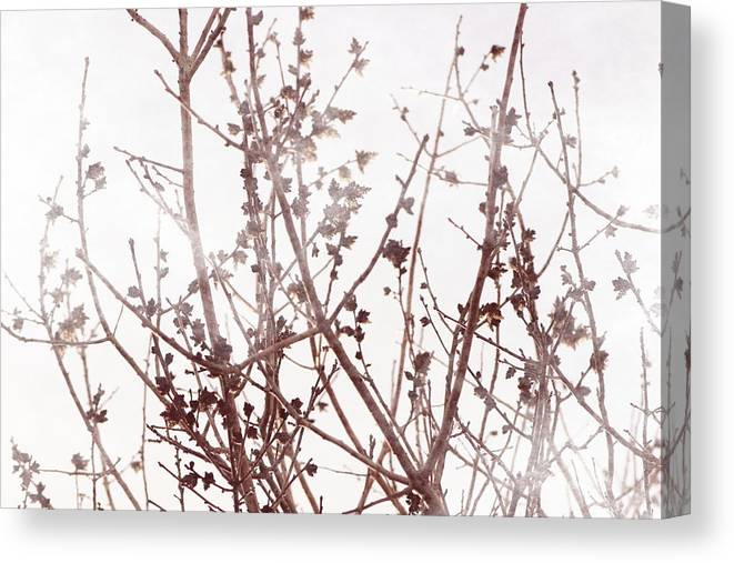 Chateau Rose Canvas Print featuring the photograph Budding Tree In Chateau Rose Misty Morning by Colleen Cornelius