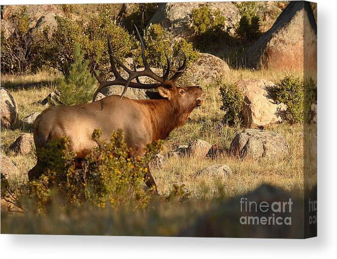 Elk Canvas Print featuring the photograph Bull Elk Bugling Among The Rocks by Max Allen