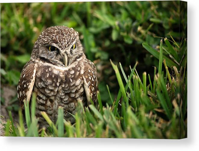 Burrowing Canvas Print featuring the photograph Burrowing Owl by Mandy Wiltse