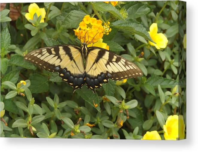 Butterfly Canvas Print featuring the photograph Butterfly by FD Brake