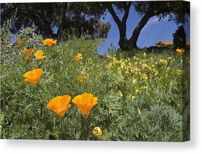 Nobody Canvas Print featuring the photograph California Poppy Eschscholtzia by Rich Reid