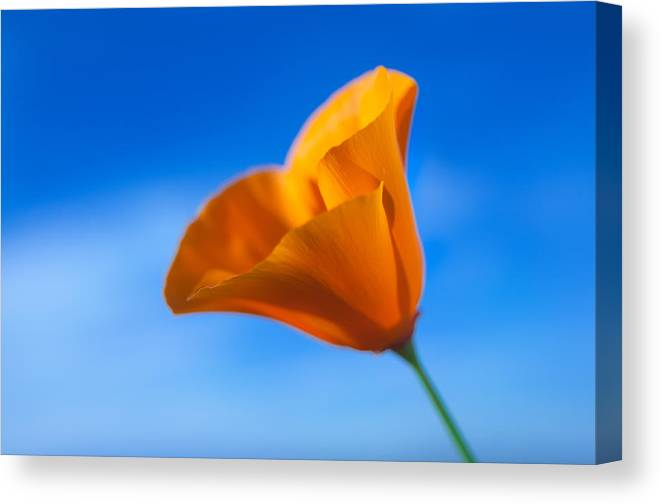 Poppy Canvas Print featuring the photograph California Poppy by Ralph Vazquez