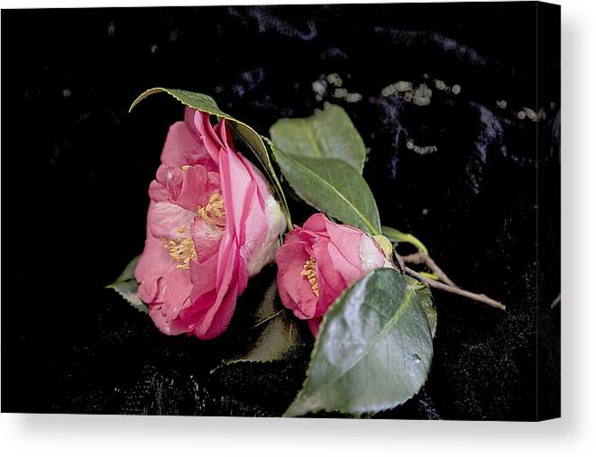 Camellia Canvas Print featuring the photograph Camellia Still Life by Kay Brewer