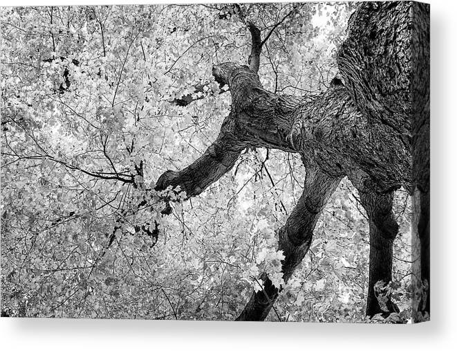 Abstract Canvas Print featuring the photograph Canopy Of Autumn Leaves In Black And White by Tom Mc Nemar