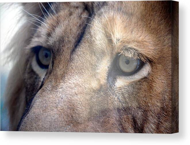 Lion Canvas Print featuring the photograph Cats Eyes by Lisa Kane