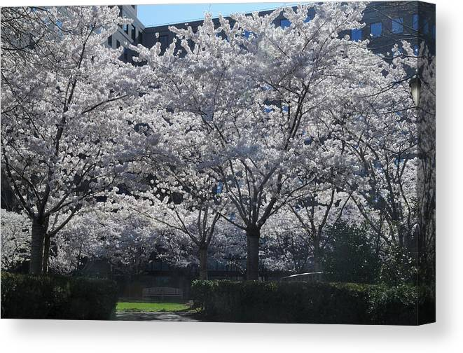 Cherry Blossoms Canvas Print featuring the photograph Cherry Blossoms by Terese Loeb Kreuzer
