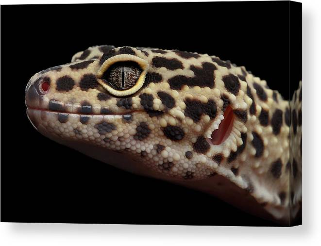 Closeup Canvas Print featuring the photograph Closeup Head Of Leopard Gecko  Eublepharis Macularius Isolated On Black 09c0b7229