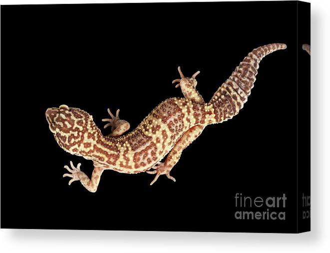 Eublepharis Canvas Print featuring the photograph Closeup Leopard Gecko  Eublepharis Macularius Isolated On Black Background by c630fe6a1