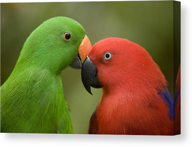 Two Animals Canvas Print featuring the photograph Closeup Of Male And Female Eclectus by Tim Laman