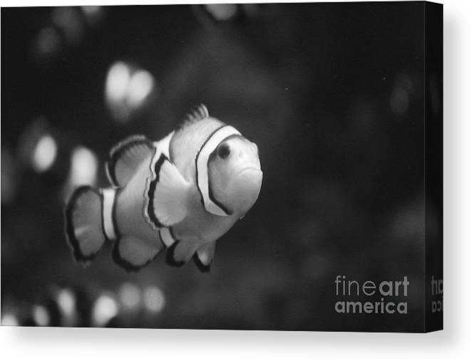 Clownfish Canvas Print featuring the photograph Clownfish by Brenton Woodruff