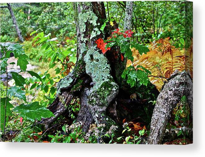 Tree Canvas Print featuring the photograph Colorful Stump by Diana Hatcher