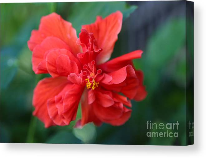 Hibiscus Canvas Print featuring the photograph Colors Of The Tropics Hibiscus by Carol Groenen