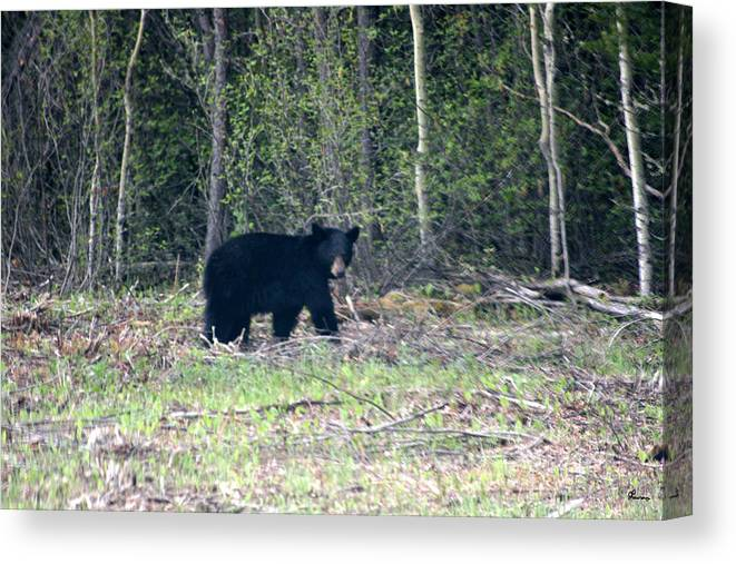 Black Bear Nature Wild Animal Trees Forest Rainbow Lodge Piprell Lake Saskatchewan Canvas Print featuring the photograph Curious Black Bear by Andrea Lawrence