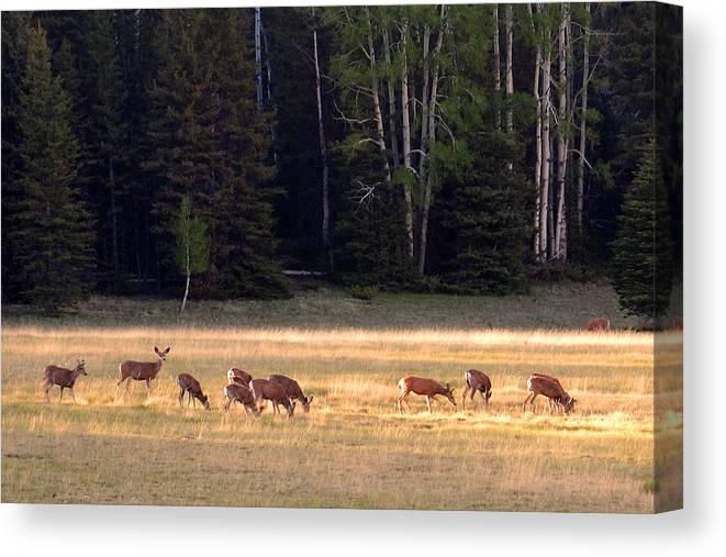 Deer Canvas Print featuring the photograph Deer At Kaibab Meadows by Neil Doren