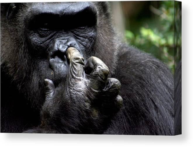 Gorilla Canvas Print featuring the photograph Digging For Gold by Jason Hochman