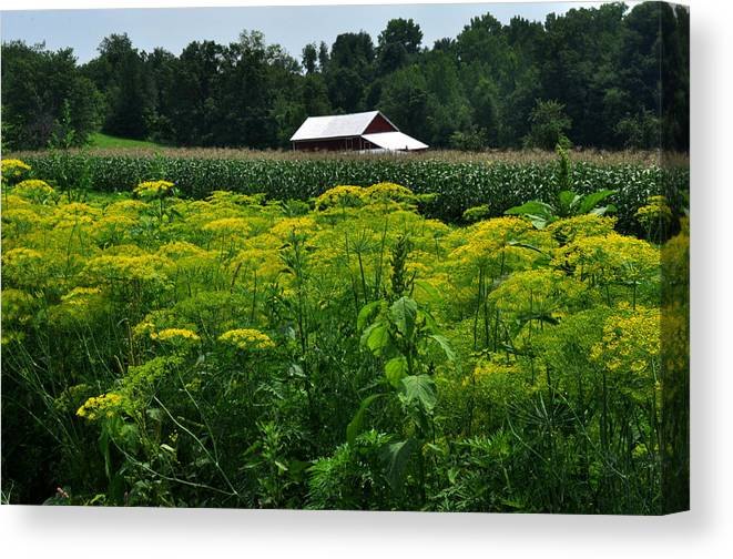 Farm Canvas Print featuring the photograph Dill Field Hudson Valley Ny by Diane Lent