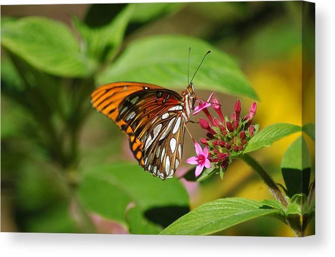 Butterflies Canvas Print featuring the photograph Dinner Time by Robert Anschutz
