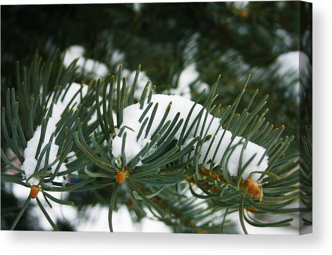 Evergreen Canvas Print featuring the photograph Evergreen by Kevin Phipps