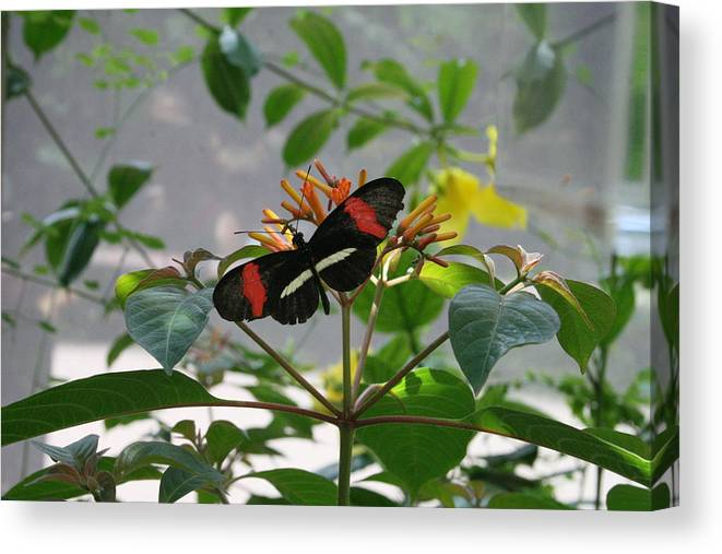 Butterfly Canvas Print featuring the photograph Feeding Time - Butterfly by Lynn Michelle