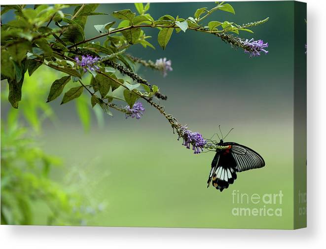 Animal Canvas Print featuring the photograph Female Great Mormon Butterfly On A Branch by Sami Sarkis
