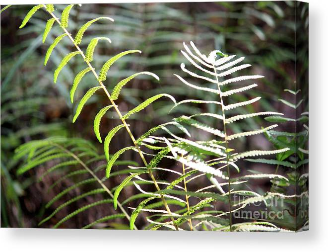 Ferns Canvas Print featuring the photograph Ferns In Natural Light by Carol Groenen