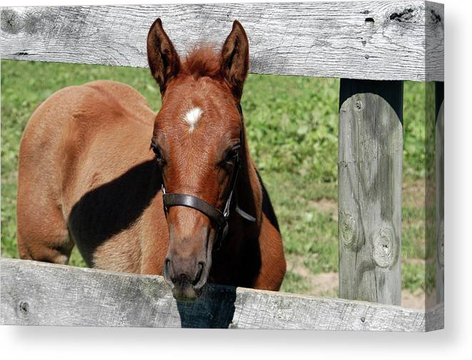 Horse Canvas Print featuring the photograph Foal Peaking Through Fence by Alynne Landers