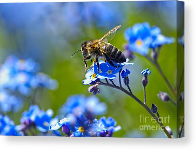 Honeybee Canvas Print featuring the photograph Forget Me Not Bee 2 by Sharon Talson