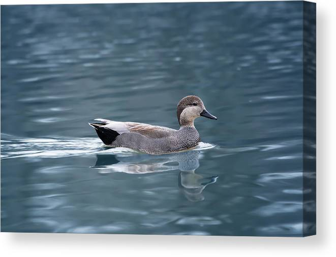 Duck Canvas Print featuring the photograph Gadwall On Blue by John Hall