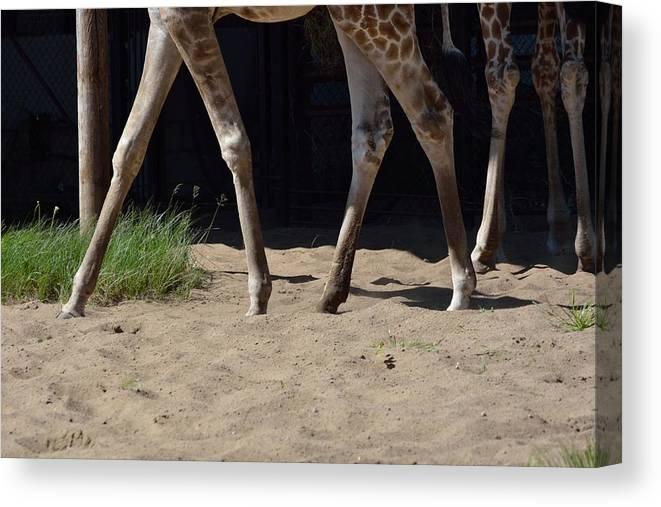 Giraffe Canvas Print featuring the photograph Giraffe by Victor Filinkov