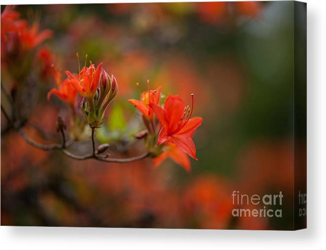 Rhodies Canvas Print featuring the photograph Glorious Blooms by Mike Reid