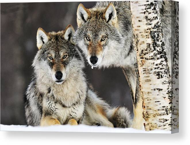 Mp Canvas Print featuring the photograph Gray Wolf Canis Lupus Pair In The Snow by Jasper Doest