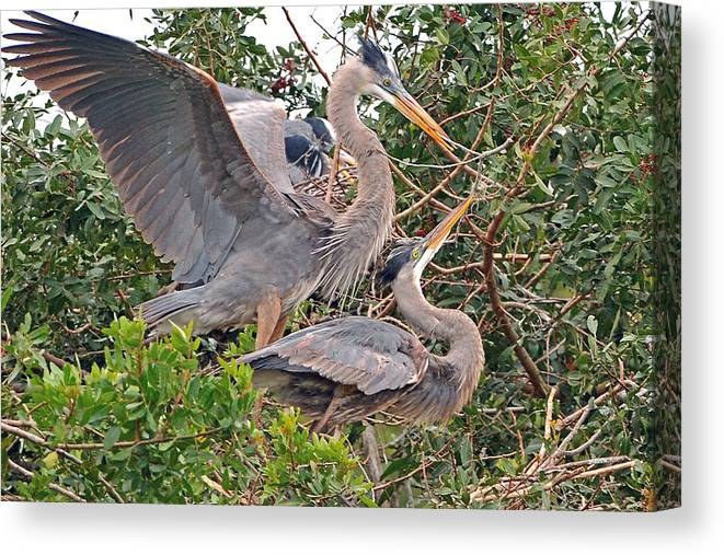 Heron Canvas Print featuring the photograph Great Blue Heron Pair by Alan Lenk