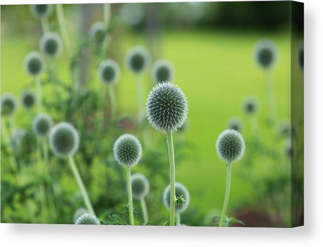 Nature Canvas Print featuring the photograph Green Globe Thistles by Lori Rider