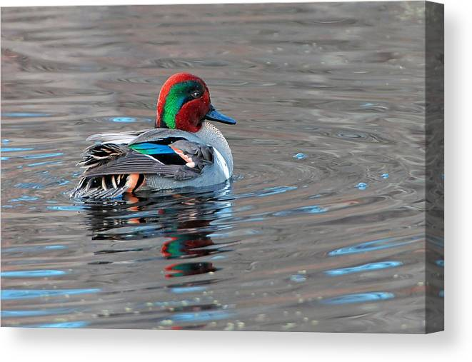 Teal Canvas Print featuring the photograph Green-winged Teal by Alan Lenk